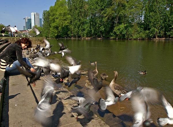 Frankfurt am Main duiven